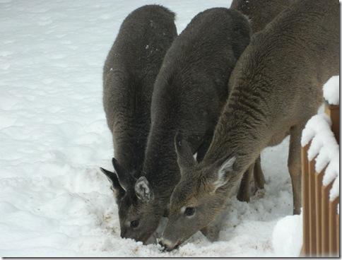 deer 058