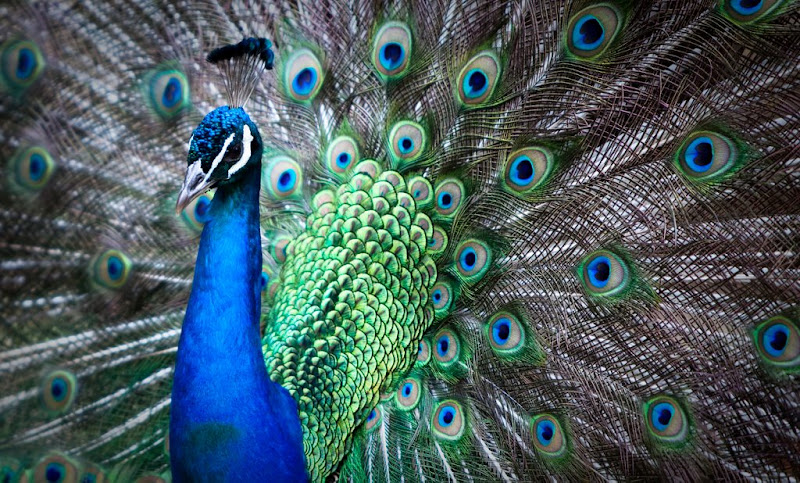 IMAGE: http://lh6.ggpht.com/_HaQYiwqzkPU/SiHWvWY_SzI/AAAAAAAAB6c/qVKPzzpK15I/s800/Peacock2.jpg