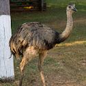 Ema(Greater Rhea)