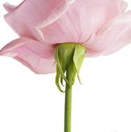Flor rosa reflexiones frases feliz cumpleaños