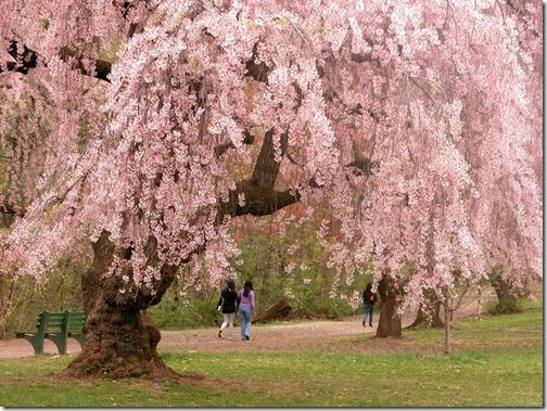 Cerejeira em Flor: beleza que tem cheiro