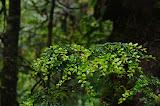 Myrtle Beech Forest