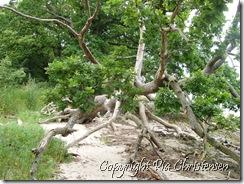 Liv i væltet træ