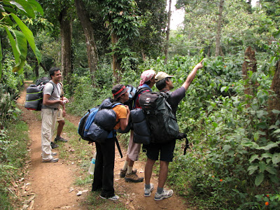 Looking for blue toothed hornbill (a.k.a common myna)