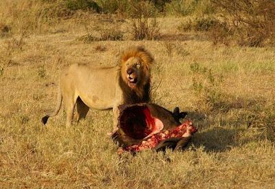 Un león macho en Masai Mara (Kenia) arrastra los restos de un búfalo
