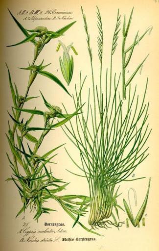 Nard Grass - Nardus stricta