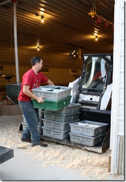 unloading turkey poults