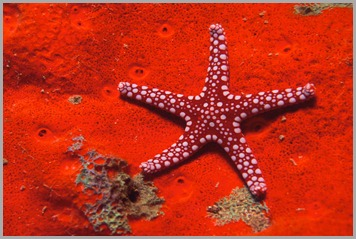 Red%20Starfish%20pictures%20underwater%20photos