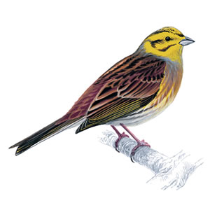 yellowhammer_male_300_tcm9-142551.jpg