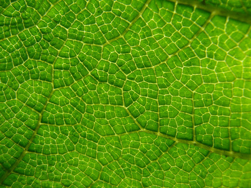 Becs - leaf close up