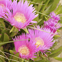 Hottentot Fig, Mittagsblume