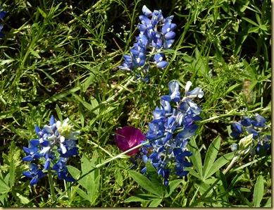 2010-04-24 - TX, Fredericksburg - Bluebonnets & Spring Flowers - 1029