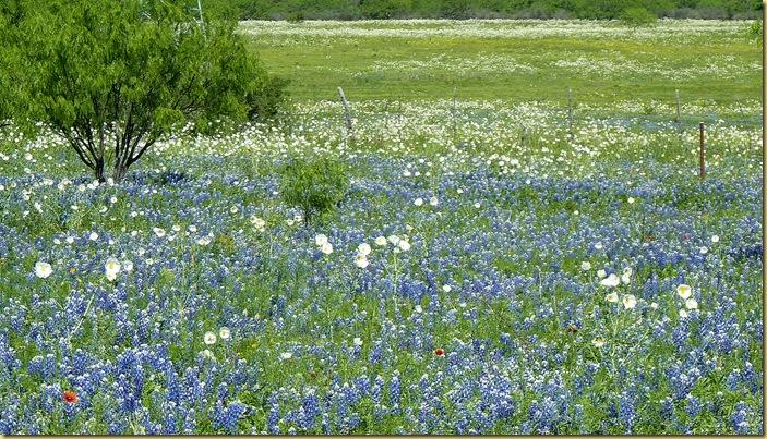 2010-04-24 - TX, Fredericksburg - Bluebonnets & Spring Flowers - 1042