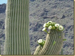 2011-04-21 -3- AZ, Organ Pipe Cactus National Monument (21)