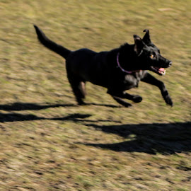 work or play? by Tamara Jacobs - Animals - Dogs Running ( work, park, working dog, play, puppy, dog )