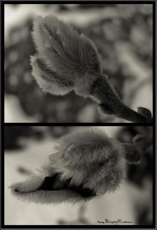 chip_sepia_20101213_magnolia