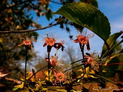 blom_20110423_persikor