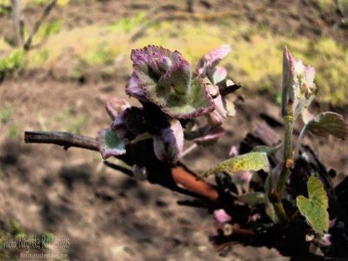wine_20110423_plant
