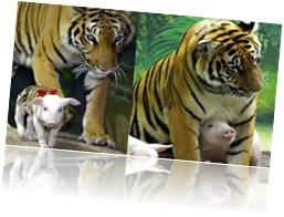 Tigresa e porquinhos (4)