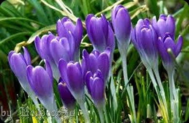 violetas-LoBocAs