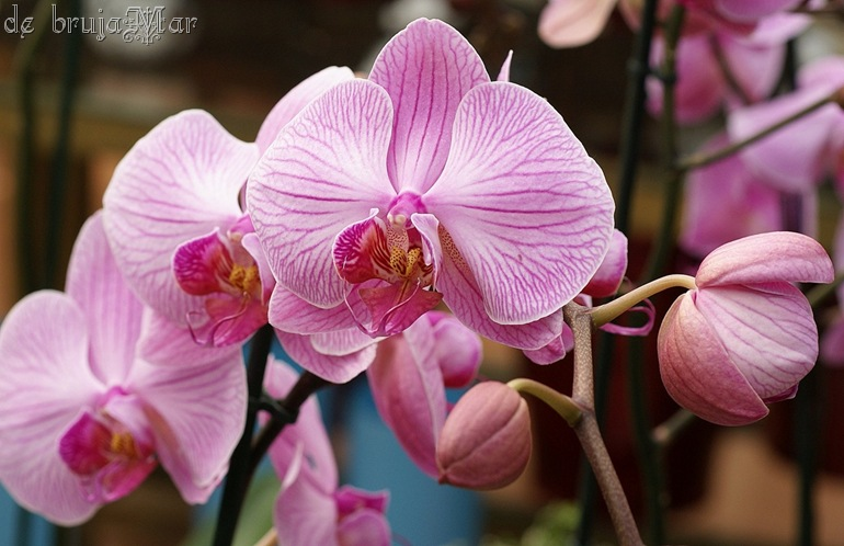 orquidearosa_debrujaMar