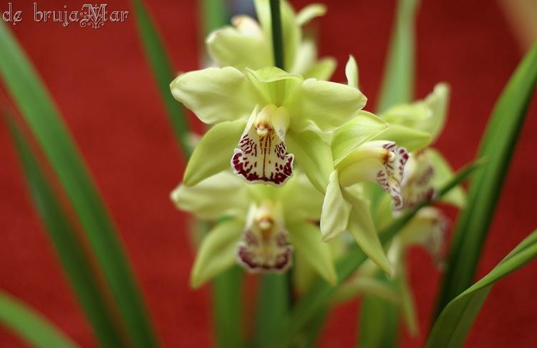 orquideaverdes_debrujaMar