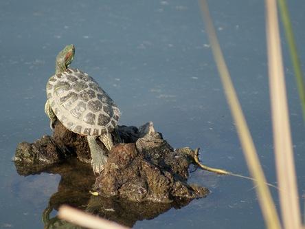 Turtle_onRock_Feb2010