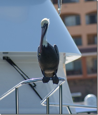 BrownPelican_Harbor