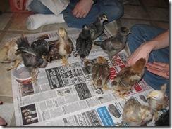chicks 2 weeks 02
