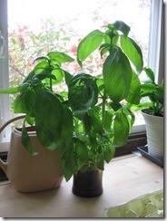 basil plants 01