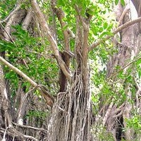 Thumbnail image for The Old Enchanted Balete Tree in Siquijor