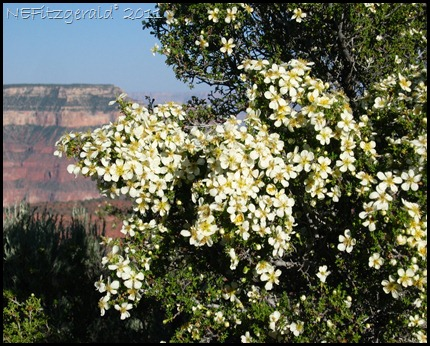 128_2859 CliffRose_Grand CanyonNP