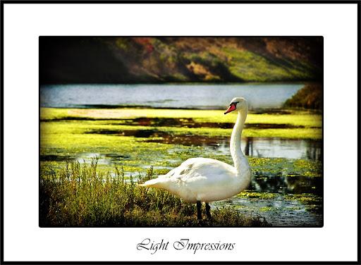 Red Beak Swan