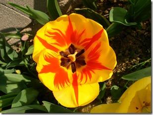 Valentino e i tulipani-16