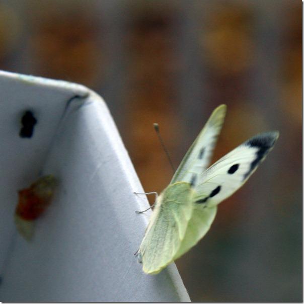 Allevamento farfalle-19