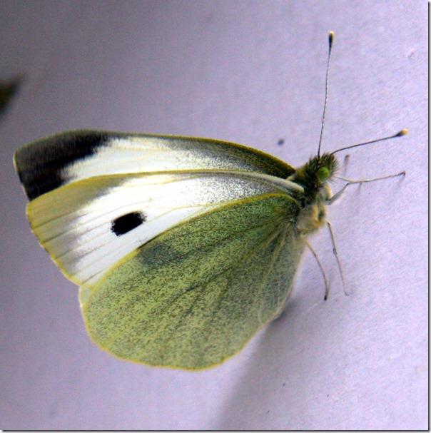 Allevamento farfalle-17