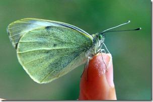 Allevamento farfalle-15