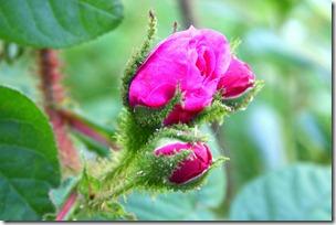 Confettura di rose-2