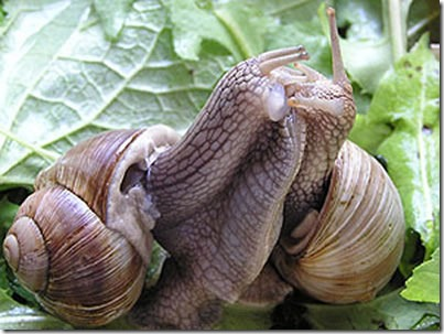 snail-mating