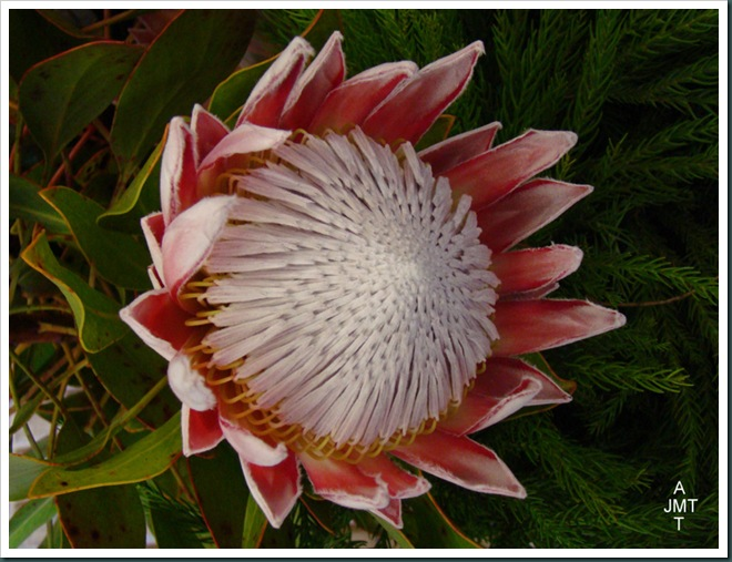 DSC03302-proteaceae-cynaroide F proteaceae BW