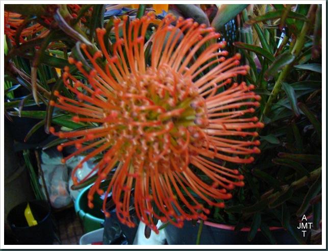 DSC03303-leucospermum-vlam cordifolium (pelote d'epingles) F proteaceae BW-