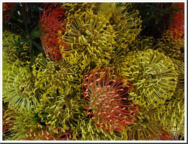 DSC03304-leucospermum-vlam cordifolium (pelote d'epingles) F proteaceae BW