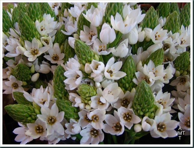 DSC03307-ornithogalum-thyrsoide (pain de sucre) F liliaceae BW