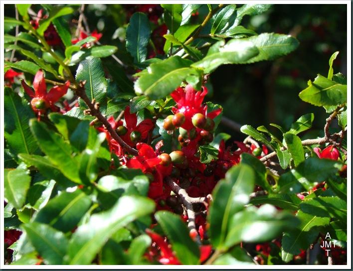 DSC03350-ochna-serrulata-multiflora (plante Mickey ou oeil de pain) F ochnaceae BW