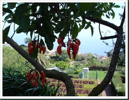 DSC05281W1-erythrina-falcata carolina (erythrine) F fabaceae BW