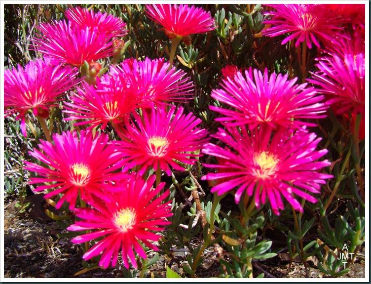 DSC03361-lampranthus-multiradiatus (ficoïde) aizoaceae BW