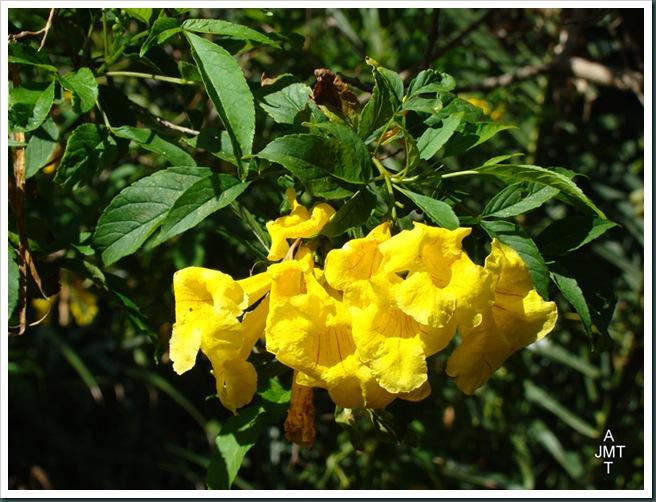 DSC03379-tipuana-tipu-(orgueil de bolivie, tipoine) F fabaceae BW
