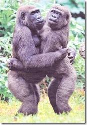 Gorila - opicí cardás