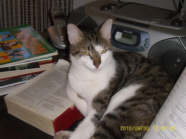 ITO, gato cariñosisimo en adopción. Sevilla Ito02