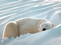 polarbearsleeping